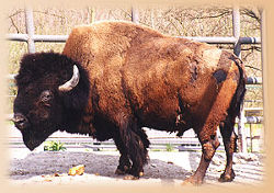Bison<br>(c) Th�ringer Zoopark