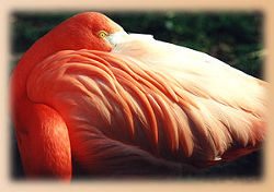 Flamingo<br>(c) Th�ringer Zoopark